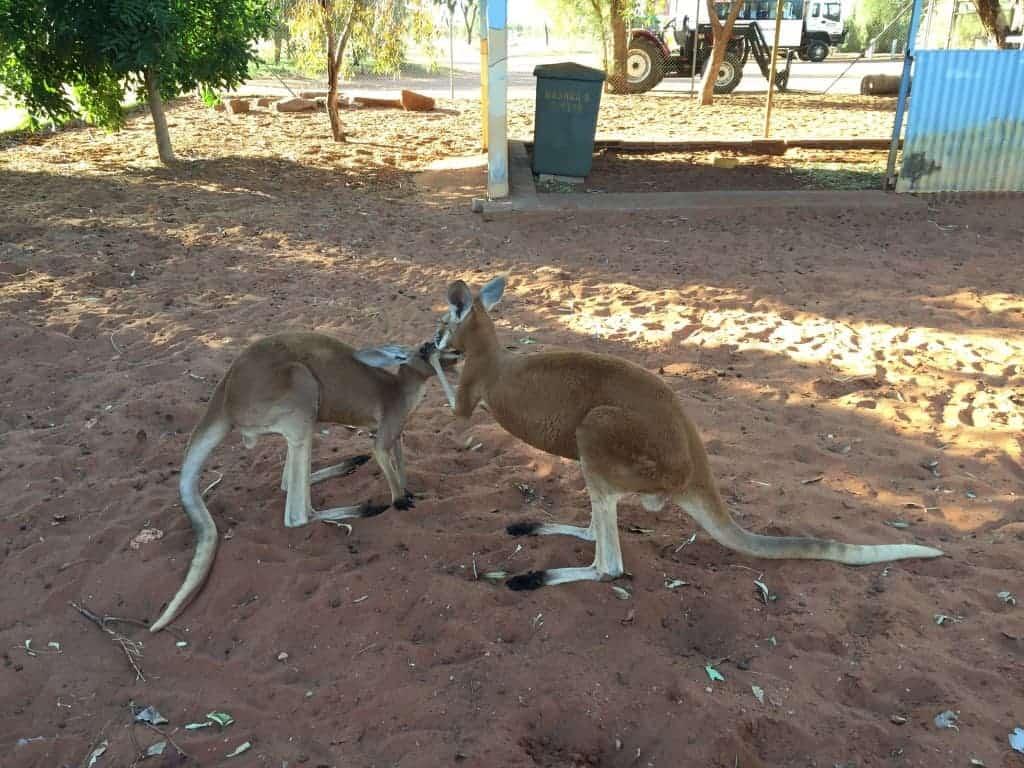Orphan Joeys, Australia