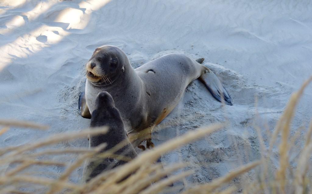 Male Sea Lion, Otago Peninsula, Dunedin