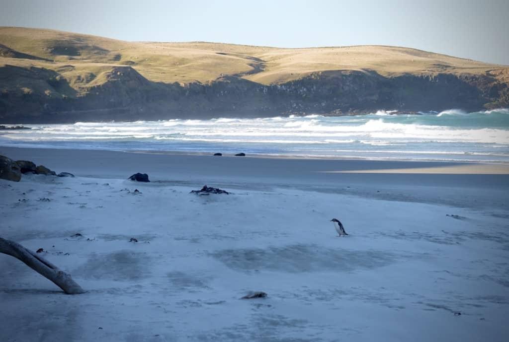 Yellow-Eyed Penguin, Otago Peninsula, Dunedin